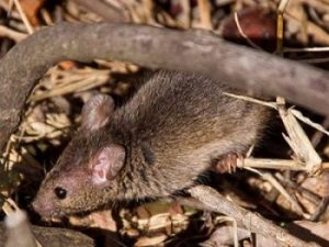 Antechinus-723769 copy