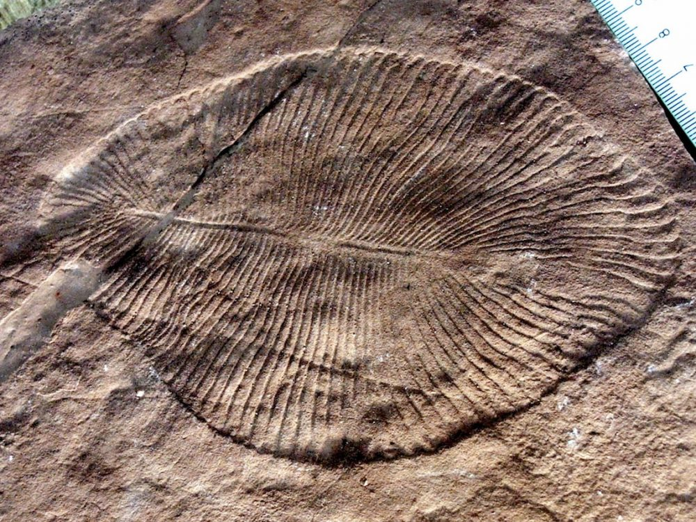 DickinsoniaCostata